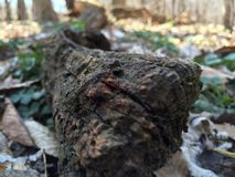 Fallen tree. On the forest floor . Close up to nature Stock Photography