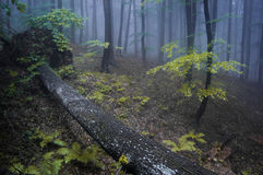 Fallen tree in a forest with fog Stock Images
