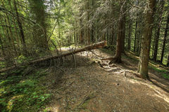 Fallen tree in the forest. Fallen pine tree on the path in the forest royalty free stock photo