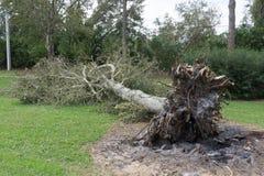 Fallen Tree During Hurricane Stock Photo