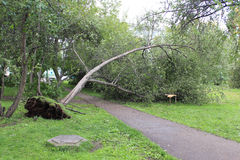 Fallen tree after Hurricane Royalty Free Stock Photos