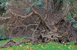 Fallen tree after hurricane Sandy in Toronto. Royalty Free Stock Photos