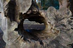Fallen tree in Ireland. Woods at Castletown house in celbridge, co kildare, Ireland Stock Photography