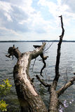 Fallen Tree. Tree in the lake in the sunshine Stock Photography