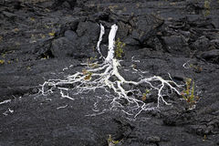 Fallen Tree, Lava Field, Hawaii. A fallen tree populates a lave field in Volcanoes National Park on the Big Island of Hawaii Royalty Free Stock Images