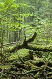 Fallen tree laying. On forest bottom,middle europe,poland,bialowieza forest royalty free stock photos