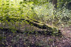 Fallen Tree. In Letchworth woods Royalty Free Stock Photography