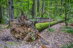A fallen tree. Lies on the ground in the forest Stock Images