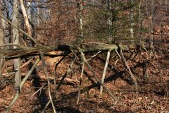 Fallen tree with limbs. A large fallen tree in the forest with limbs still intact looking like a giant multilegged insect Stock Photography