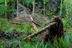 Fallen tree in a lush green forest uprooted with moss royalty free stock image