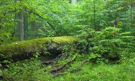 Fallen tree lying Royalty Free Stock Image