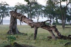 Fallen tree. A fallen and broken tree, mangled to the ground, in the Kenya plains stock images