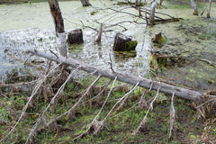 Fallen tree in the marsh. The old tree has fallen into the swamp in Siberia Royalty Free Stock Photos