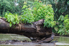 Fallen tree in the middle of the rivver. This tree is preventing tourist to go through the river with their boat Royalty Free Stock Photos