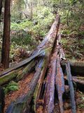 Fallen tree Muir wooods redwood national forest muir woods california tall trees red woods royalty free stock photos