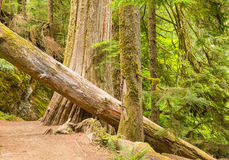 Fallen tree in old growth forest Royalty Free Stock Image