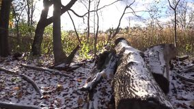 Fallen tree in an open field of snow. Wide shot stock footage