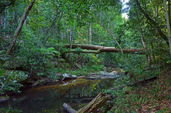 Fallen tree over creek in temperate rainforest Royalty Free Stock Photos