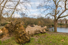 Fallen tree in the park and left to rot. A fallen tree left to rot in the park just in front of the lake. Cloudy winter sky in Britain with typical houses in the Royalty Free Stock Photos