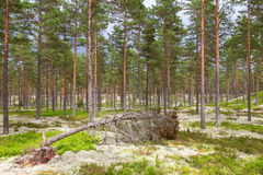 Fallen tree in the pine tree woods Royalty Free Stock Photography