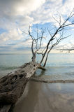 Fallen tree reaching out into water. Fallen tree at edge of caribbean beach Stock Image