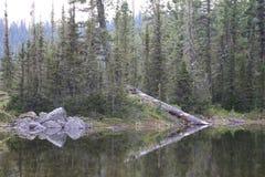 fallen tree Reflexion Royaltyfri Foto