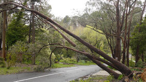 Fallen tree rests on power lines in Adelaide Hills. Adelaide Hills, Australia - October 4, 2016: Extreme weather conditions have caused a tree to fall on to Stock Photography