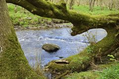 River Barle, Exmoor. Fallen Tree by River Barle, south of Withypool, Exmoor, Somerset Stock Photo