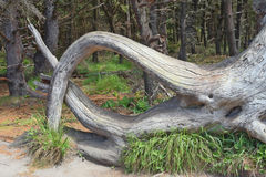 Fallen Tree Root Structure Stock Photo