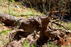 A fallen tree with the root system showing stock images