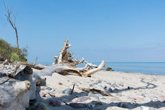 Fallen tree with roots bleached out on the Baltic Sea beach agai Stock Photography