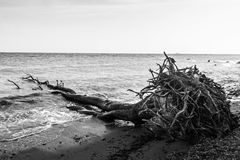 Fallen tree with roots on a seashore Stock Image