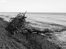 Fallen tree with roots on seashore Stock Photo