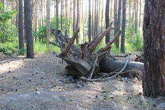 Fallen tree. The roots of a fallen tree in a summer forestn stock photography