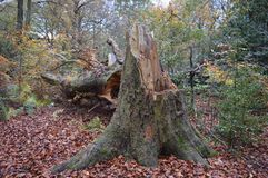 Fallen tree. Scholes wood Royalty Free Stock Photo