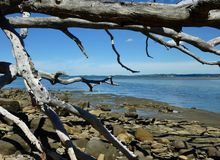 Fallen tree at the shore. In Wenderholm Regional Park near Auckland Royalty Free Stock Image