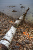 Fallen tree on shoreline. Royalty Free Stock Images