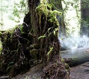 Root system of downed tree in Cathedral Grove with misty looking cloud made from vaporizer royalty free stock photo