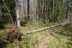 Fallen tree Stock Images