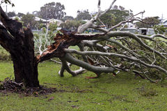 Fallen Tree, Storm Damage Royalty Free Stock Photos