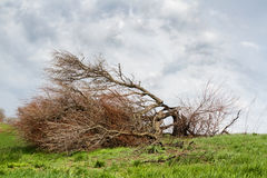 A fallen tree storm. Tree felled by the storm, fighting for his life Royalty Free Stock Image
