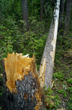 Fallen tree. Tree fallen because of the strong wind in the forest Stock Photo