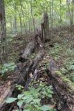 Fallen tree and stump stock photo