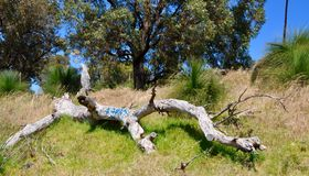 Fallen Tree Tagged: Australian Bushland royalty free stock photo