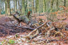 Trunks and branches of logged trees in the Groenendaalse forest. Fallen tree  with thick fluted trunk and branches broken off in a forest is to digest slowly to Stock Photos