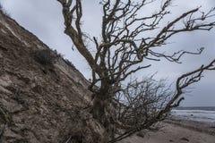 Fallen Tree. Tree fallen to shore due to a mudslide Stock Image