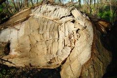 A fallen tree trunk, bitten by beavers royalty free stock images