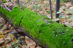 Fallen tree trunk. Stock Photography