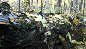 Fallen tree trunk and fungus forest. In forest of fallen leaves old tree trunk with mushroom stock video