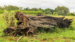 Fallen tree trunk in the grass. Cut and burned log Stock Photos